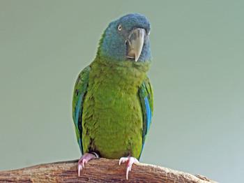 Blue-headed_Macaw_RWD3.jpg